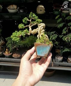 Mame Bonsai, Perfect Plants, Exotic, Projects To Try, Gardening, Green, Photography, House, Plant