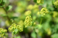 Kräuterwissen: Frauenmantel - alles um das wunderbare Frauenheilkraut! Kraut, Plant Leaves, Herbs, Plants, Women's Coats, Knowledge, Herb, Plant, Planets