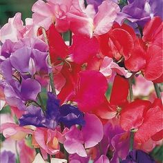 Sweet Pea Seeds - Spencer Special Mix - Suttons Seeds and Plants