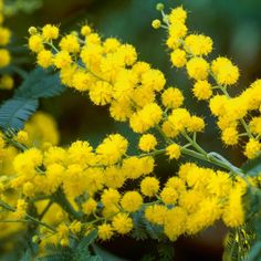 The ferny foliage is grey-green and provides an attractive contrast with bunches of bright yellow spring flowers Yellow Spring Flowers, All Flowers, Amazing Flowers, Beautiful Flowers, Australian Native Garden, Australian Native Flowers, Australian Plants, Le Mimosa, Language Of Flowers