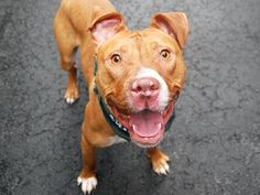"SAFE - 05/05/15 - HANDSOME – #A1028351 - ""RETURNED AGAIN 05/03/15"" - NEUTERED MALE TAN AND WHITE AM PUT BULL TER MIX, 2 Yrs., 3 Mos., RETURN - ALLERGIES. Intake Date - 05/03/15"