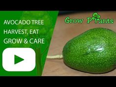 Avocado tree - Learn how to grow Avocado tree, plant information - climate, zone, uses, growth speed, water, light, planting & bloom