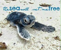 Best photos, images, and pictures gallery about baby sea turtle - sea turtle facts. Turtle Day, Turtle Life, Turtle Beach, Cute Baby Turtles, Cute Baby Animals, Sea Turtle Facts, Sea Turtle Pictures, Save The Sea Turtles, Land Turtles