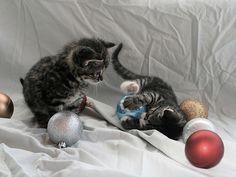 "Kitten having a ""bulb"" at Christmas"