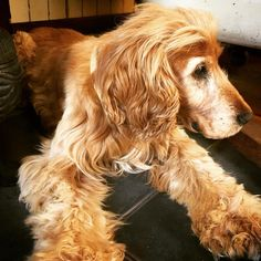 Say hello to Moose who's nearly 15 and is the mini landlord of the house I'm visiting. He loves naps looking for food naps meeting new people and...naps. Yep you've got the right idea old boy #moose #magra #tasmania #tassie #roadtrip #tinyhouse #cocker #cockerspaniel #cockersofinstagram #golden #oldboy #love #dog #dogs #dogsofinstagram #pets #vetlife #vetlove #vetsofsydney #doglife #doglyfe #kingsfordvet