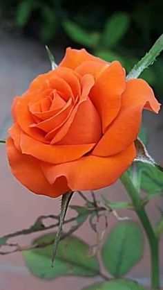 ¿Alguna vez has visto 60 colores diferentes de rosas? Whenever we approached the Flores & Beautiful Rose Flowers, Love Rose, Flowers Nature, Exotic Flowers, Orange Flowers, Amazing Flowers, Pretty Flowers, Red Roses, Yellow Roses
