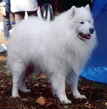 Samoyed- A breed of dog that takes its name from the Samoyedic peoples of Siberia. Recent DNA analysis of the breed has led to the Samoyed's being included amongst the fourteen most ancient dog breeds,along with Siberian Huskies, Alaskan Malamutes, the Chow Chow, and 10 others of a diverse geographic background. The Samoyeds have been bred and trained for at least 3,000 years.