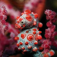 The Pygmy Seahorse is one of the newest that have been identified. Since they are so tiny and they blend so well with the surroundings. They weren't even known to exist until they were accidentally placed in captivity on some coral reef and then they were detected and closely examined. 📸 by Bryan Mayer #oceanlove #ocean #oceanconservancy #oceans #saveourseas #saveourocean #saveourearth #oceanlover #oceanaddict #oceanviews #oceanvibes #discoverocean #oceanskeepers #saveocean #snorkeling…