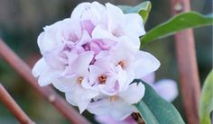 Nepalese paper plant, Daphne bholua 'Jacqueline Postill', a medium- sized, ever-green shrub bearing clusters of highly fragrant, purplish-pink and white flowers in late winter.