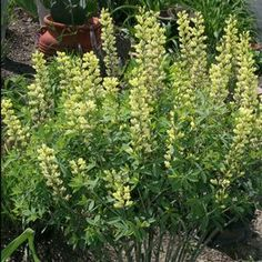 """Baptisia 'Carolina Moonlight' 3' S/PS. Drought tolerant. Planted in front """"pizza"""" gardens last season...should come up soon. We'll see!"""