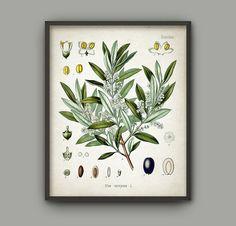 Olive Tree Print - Vintage Olive Tree Illustration - Olea Europaea - Olive Agriculture - Kitchen Decor - Botanical Print - AB538