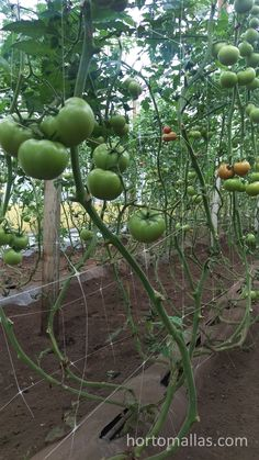 INdeterminate tomatoes trellised by HORTOMALLAS inside a greenhouse. You may notice how the bunches of tomatoes are held by the horizontal strand of the net Tomato Garden, Vegetable Garden, Tomato Support, Tomato Trellis, Tomato Farming, Farmer, Harvest, Vegetables, Fruit