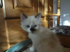 Meet Niang a Petfinder adoptable Ragdoll Cat | Austin, TX | You can fill out an adoption application online on our official website.Please contact Renee...