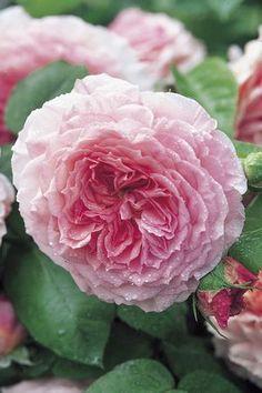 David Austin Roses for Shade | James Galway Rosa English Rose from Regan Nursery
