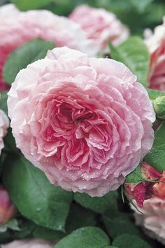 David Austin Roses for Shade | James Galway Rosa English Rose from Regan Nursery