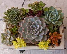 Succulent arrangement in white rectangular bonsai container. The container measures approximately 6L x 4W x 2.25 H (without succulents). This