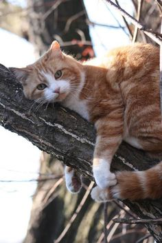 Cat laying in tree just waiting for the fireman to rescue him. LOL So cute and precious. Have a good evening Cat Lovers! ~Me