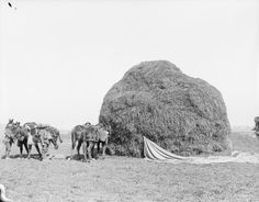 Actions of the Somme Crossings. Ammunition mules taking cover behind a haystack, Nesle, 24th March 1918 (Stragglers on 20th Division Front).