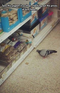 funny pigeon in shop bird food section