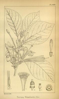 Icones plantarum or figures, with brief descriptive characters and remarks, of new or rare plants, selected from the author's herbarium.   by Hooker, Joseph Dalton,- 1883-5