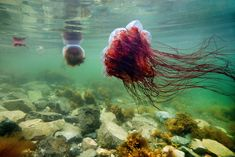 Lion's Mane Jellyfish - Woody Point (Newfoundland), Canada… | Flickr