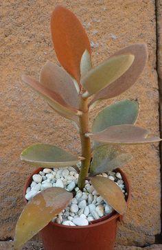 Lemaireocereus (Pachycereus o Stenocereus) marginatus, Espostoa lanata ...: http://www.pinterest.com/pin/428827195740654658/