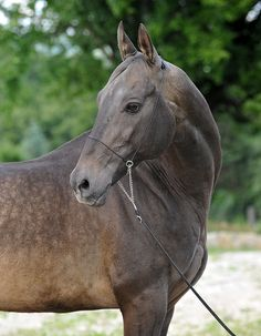 Akhal Teke, Turkish horse.  These horses are always kept too thin, with wrinkles skin and ribs showing.  Sad eyes or sick eyes!  Not happy or innocent like most horses in the face.