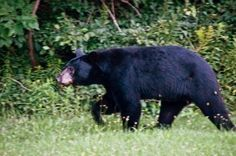 How To Keep A Bear Out Of The Garden - For those of you living in rural areas, chances are that you may on occasion have encountered a bear or two. Learning how to keep bears away is important. This article will help with that.