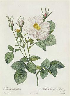 Rosa Alba Foliacea. Antique botanical rose illustration by Pierre-Joseph Redouté.