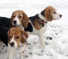 Beautiful Beagles In The Snow