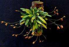 Pleurothallis lanceola - Orchid Forum by The Orchid Source