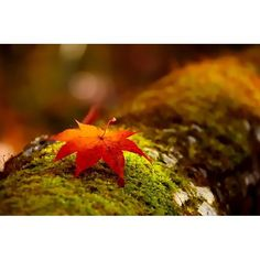 【nanan0903】さんのInstagramの写真をピンしています。《こもれび . . #晩秋 #紅葉 #木洩れ日 #もみじ #玉ボケ  #苔 #マクロ #日差し #林 #はなまっぷ  #秋の風景 #北海道 #autumnleaves #tree #lateautumn #forest #maple #nature #boken #retro_japan_ #macro #moss  #autumnlandscape #ig_japan #hokkaido  #japan》