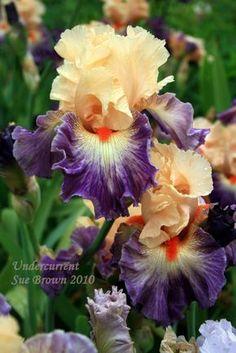 Iris Gardens At Schreiner's Iris Gardens, Oregon. Iris Flowers, Exotic Flowers, My Flower, Planting Flowers, Beautiful Flowers, Iris Garden, Garden Plants, Orquideas Cymbidium, Bearded Iris