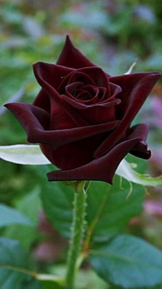 Black baccara - My Garden Rose Black Baccara Beautiful Rose Flowers, Pretty Roses, Rare Flowers, Exotic Flowers, Amazing Flowers, Special Flowers, Rose Pictures, Hybrid Tea Roses, Flower Wallpaper