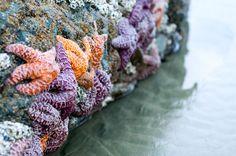 Starfish at water's edge Ucluelet Bc, West Coast Canada, Victoria Vancouver Island, San Juan Islands, Pacific Coast, Pacific Northwest, Orange And Purple, Canada Travel, British Columbia