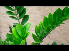 ch 9 Zamioculcas propagation (separation of rhizomes) Propagation, Cuttings, Gardening Tips, Indoor Gardening, Vinegar Uses, Zz Plant, Planting Flowers, Plant Leaves, Green