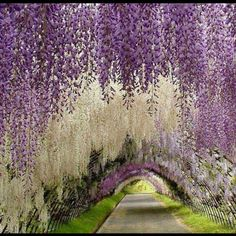 Kawachi Fuji, el túnel del amor en Japón