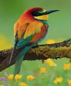 Beautiful Bee Eater