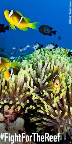 Weltnaturerbe in Gefahr!   UNGLAUBLICH - Am Great Barrier Reef soll der weltweit größte Exporthafen für Kohle entstehen! Das bedroht den Lebensraum vieler faszinierender Arten! Die Deutsche Bank hat bereits Profit mit dem dreckigen Geschäft in Australien gemacht.   Fordert sie mit uns und Campact auf: Hände weg vom Great Barrier Reef! MACHT MIT und unterschreibt die Petition: www.wwf.de/great-barrier-reef #fightforthereef