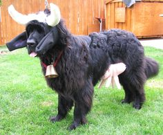 Cow #Dog Moo. LOVED this costume!! #newfoundlanddogs #bigdogs