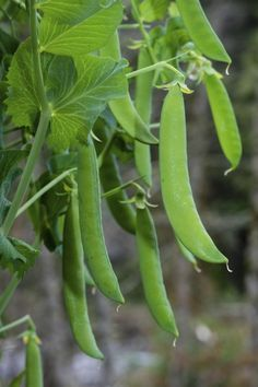 Container Garden Peas – Growing And Caring For Peas In Pots