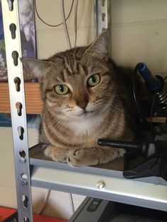 My rescue cat adventure taking a break on the tool shelf. #aww #cute #cutecats #catsofpinterest #cuddle #fluffy #animals #pets #bestfriend #boopthesnoot