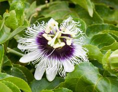 Passiflora caerulea at FLAAR garden, Guatemala City.  Photo by Jaime Leonardo
