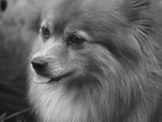 pomeranian sheepdog photo | Pom/Sheltie Mix - Share Your Story: Living with a Mixed Breed Dog