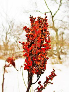 Sumac - Sour power and culinary healing potential.