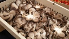 Local Oyster Mushrooms @#ilpiattosantafe