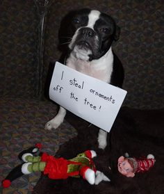 Ira, the Boston Terrier from Utica, MI, after he was apprehended for the malicious destruction of the Elf on the Shelf imposter.