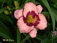 Wolf Eyes daylily Wolf Eyes, Day Lilies, Plants, Planters, Plant, Planting
