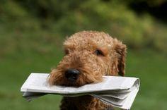 Saiba tudo sobre a raça Airedale Terrier