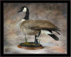 Ducks Waterfowl Taxidermy - Waterfowl